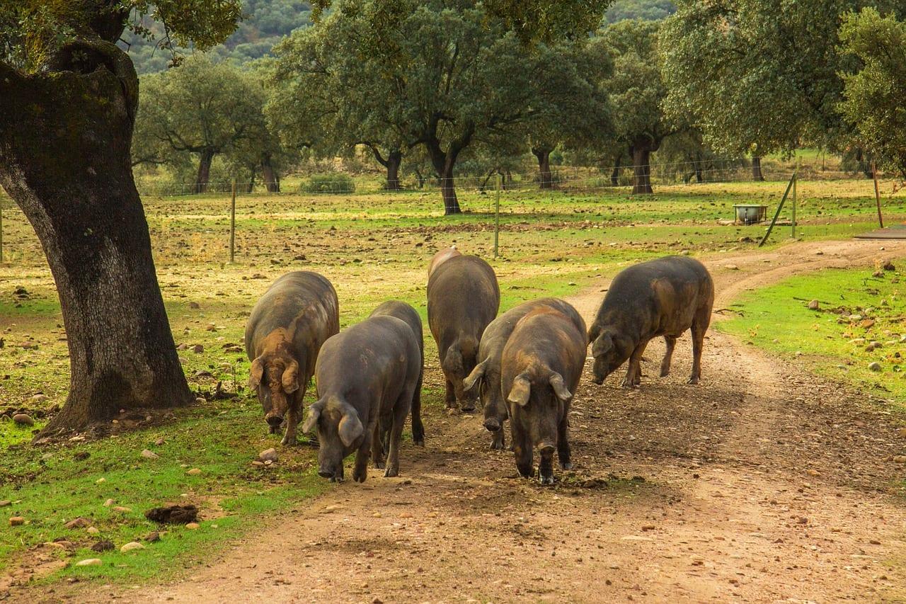 Iberische Schweine